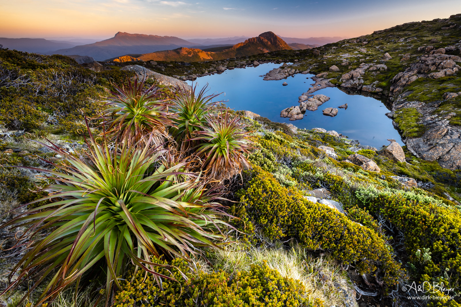Pandani Pflanze, Southwest-Nationalpark in Tasmanien